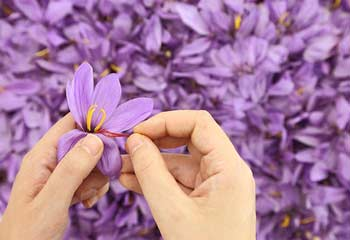 Saffron & Saffron Spray