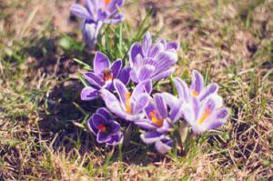Canva Close up Photo of Purple Saffron Crocus 300x199 - Iranian saffron-The most complete information on Persian saffron and buying it