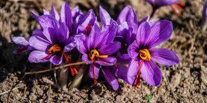 zafferano 300x149 - Saffron price