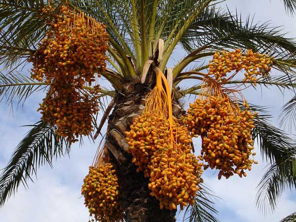 Iranian dates palm - How to recognize the best Dates fruit? (Tips)
