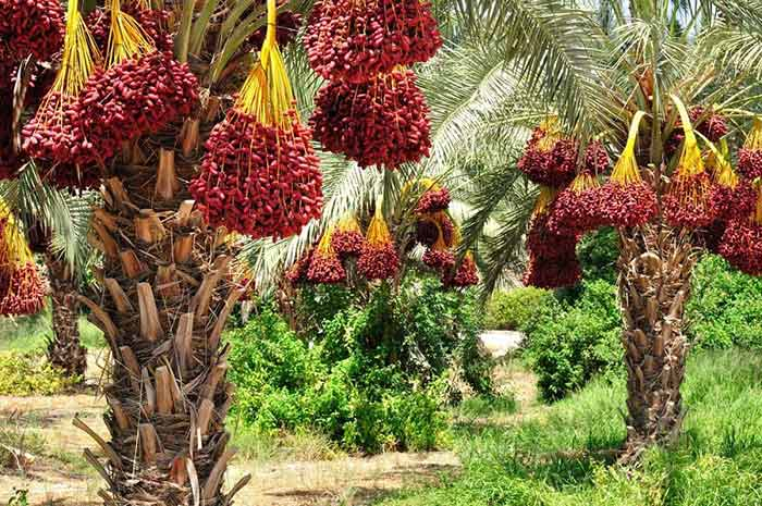 palmTree - Do you think the Dates are Good for Diseases?